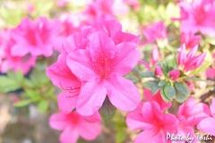 徳之島で咲くツツジ