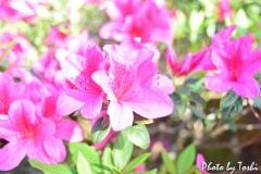 徳之島の庭先で咲くツツジ