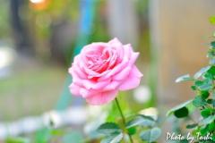 徳之島の庭先で咲くバラ