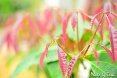 マンゴー原種の新葉