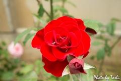 真っ赤に咲くバラの花