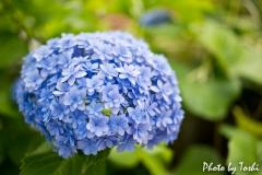 徳之島で咲く紫陽花の花