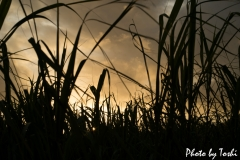 サトウキビと夕陽
