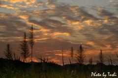 さとうきびの穂と夕陽
