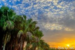 クバの木と朝日