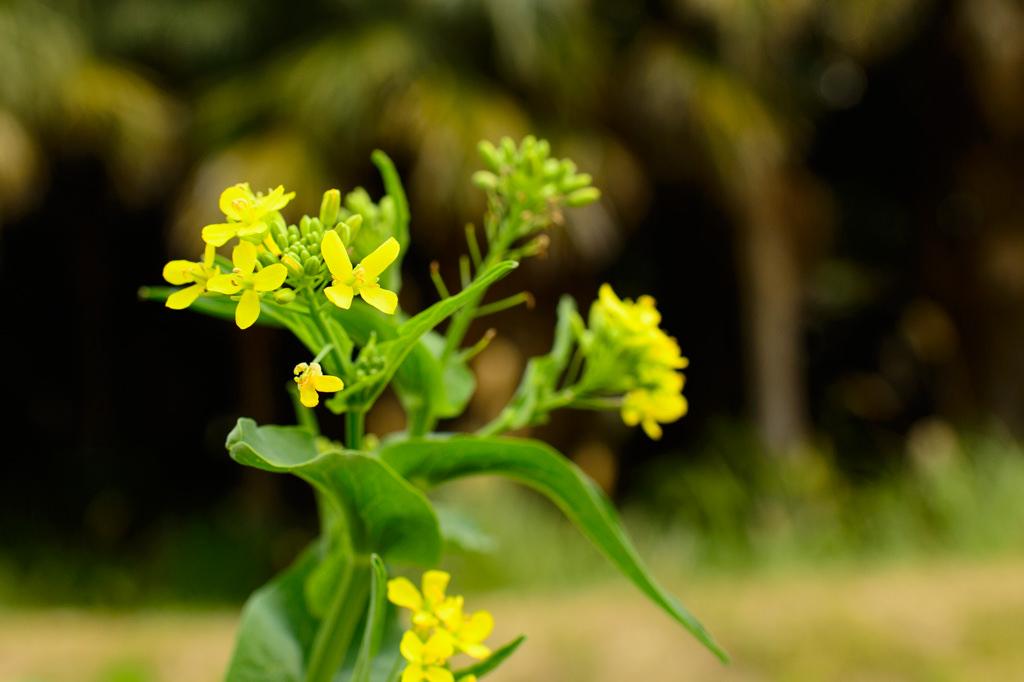 大根に咲く菜の花