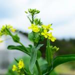 【菜の花】農園の片隅で「小さな春」を見つけたよ!