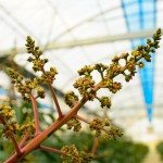 【徳之島の春】「マンゴー」の花が咲き「さとうきび」の収穫作業が終わろうとしています!