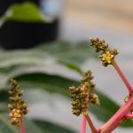 3月17日_今年初のマンゴーの花