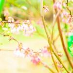 【ブルーベリー栽培】ブルーベリーが開花したよ!