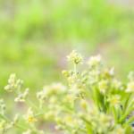 3月22日_アボカドの花+家庭菜園へきゅうりの植付け
