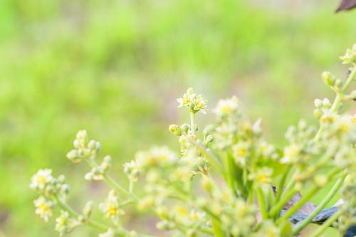 3月22日_アボカドの花+家庭菜園へきゅうりの植付け | 花徳マンゴー