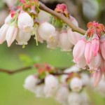 綺麗に咲いた【ブルーベリーの花】を紹介するよ!