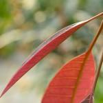 5月11日_マンゴー原種の新葉を美しく撮ることができました!