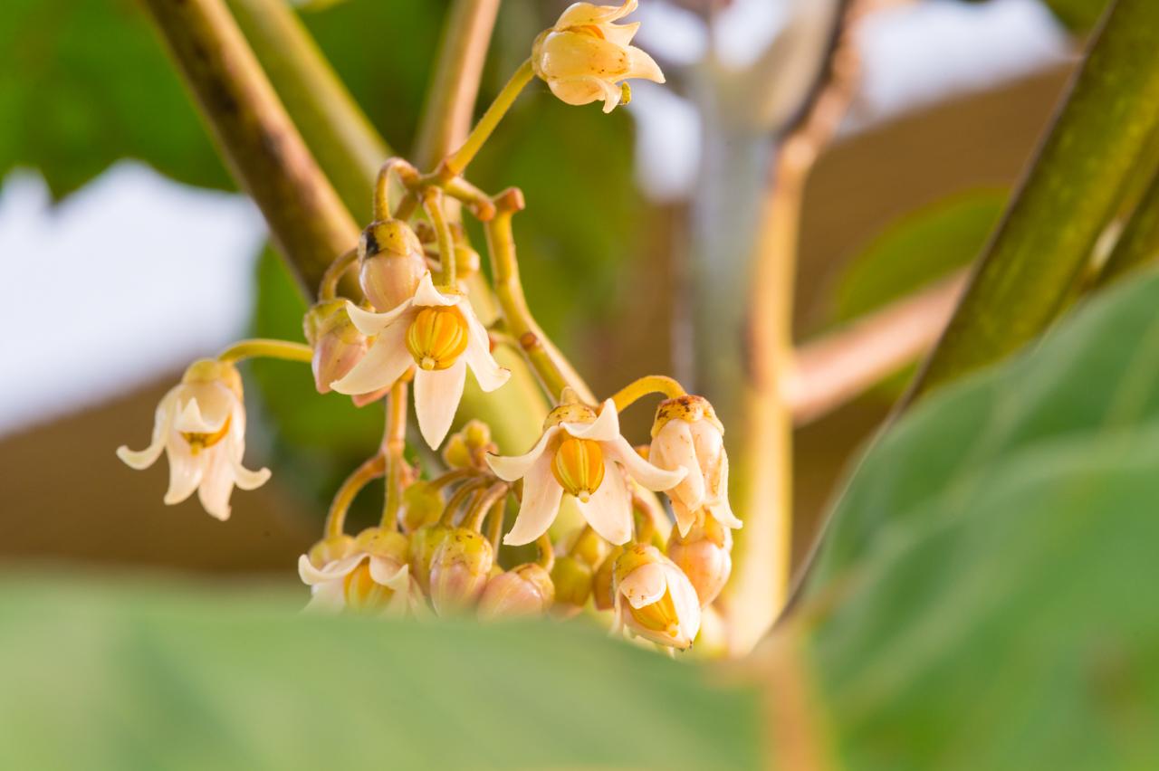 5月31日 タマリロ(ツリートマト)開花しました! | 花徳マンゴー