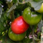 5月13日_家庭菜園の復旧作業