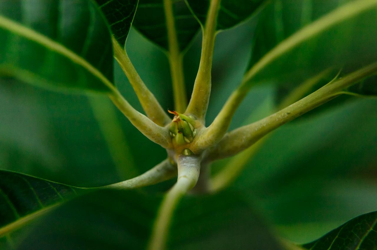 【マンゴーの害虫】「アザミウマ類(スリップス)」編 | 花徳マンゴー