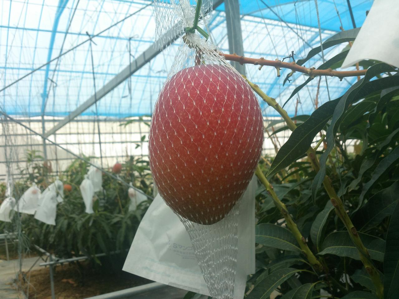 収穫前のマンゴー