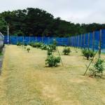 6月27日 アボカドへの乾燥及び防草対策