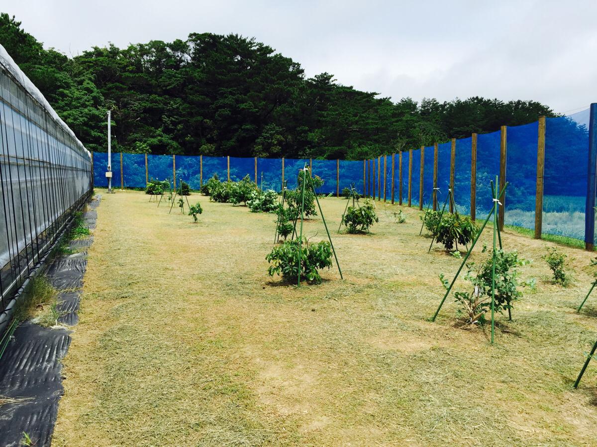 6月27日 アボカドへの乾燥及び防草対策 | 花徳マンゴー