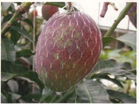 マンゴーのマダラ果実