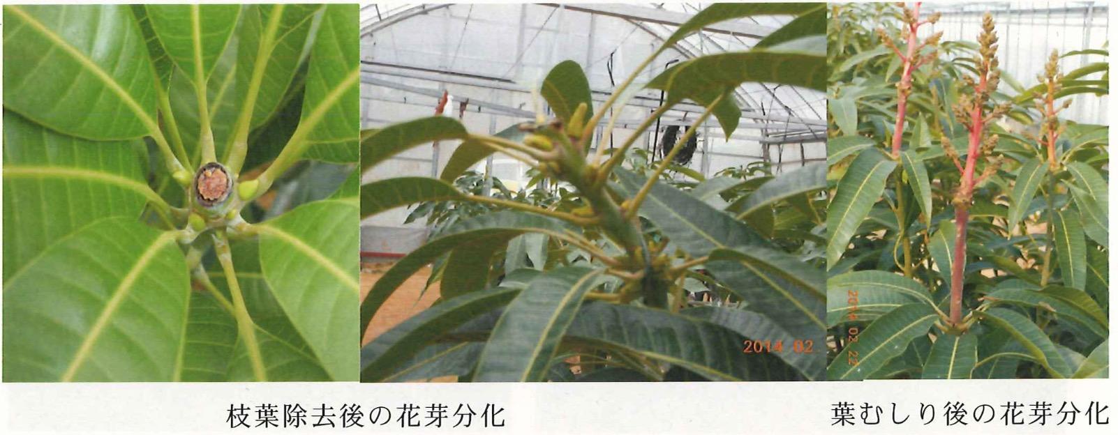 マンゴー遅れ芽の対処