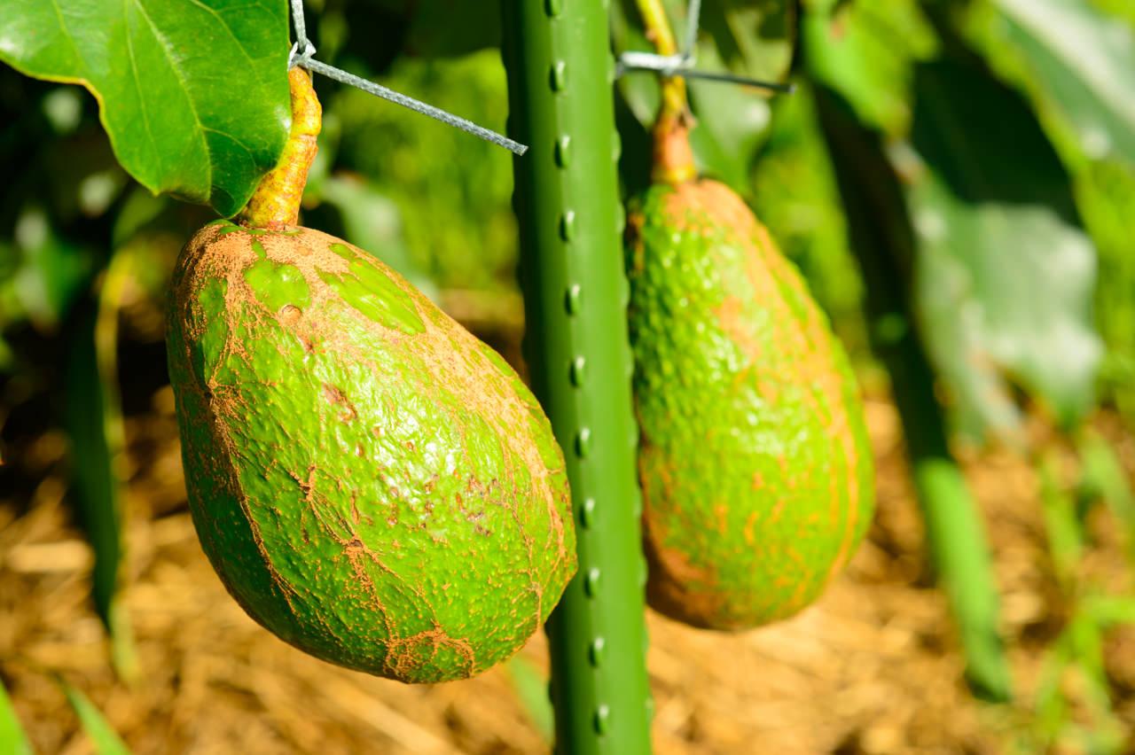 国産アボカドの果実
