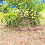 アボカドの株元へ雑草を山積みにしました。