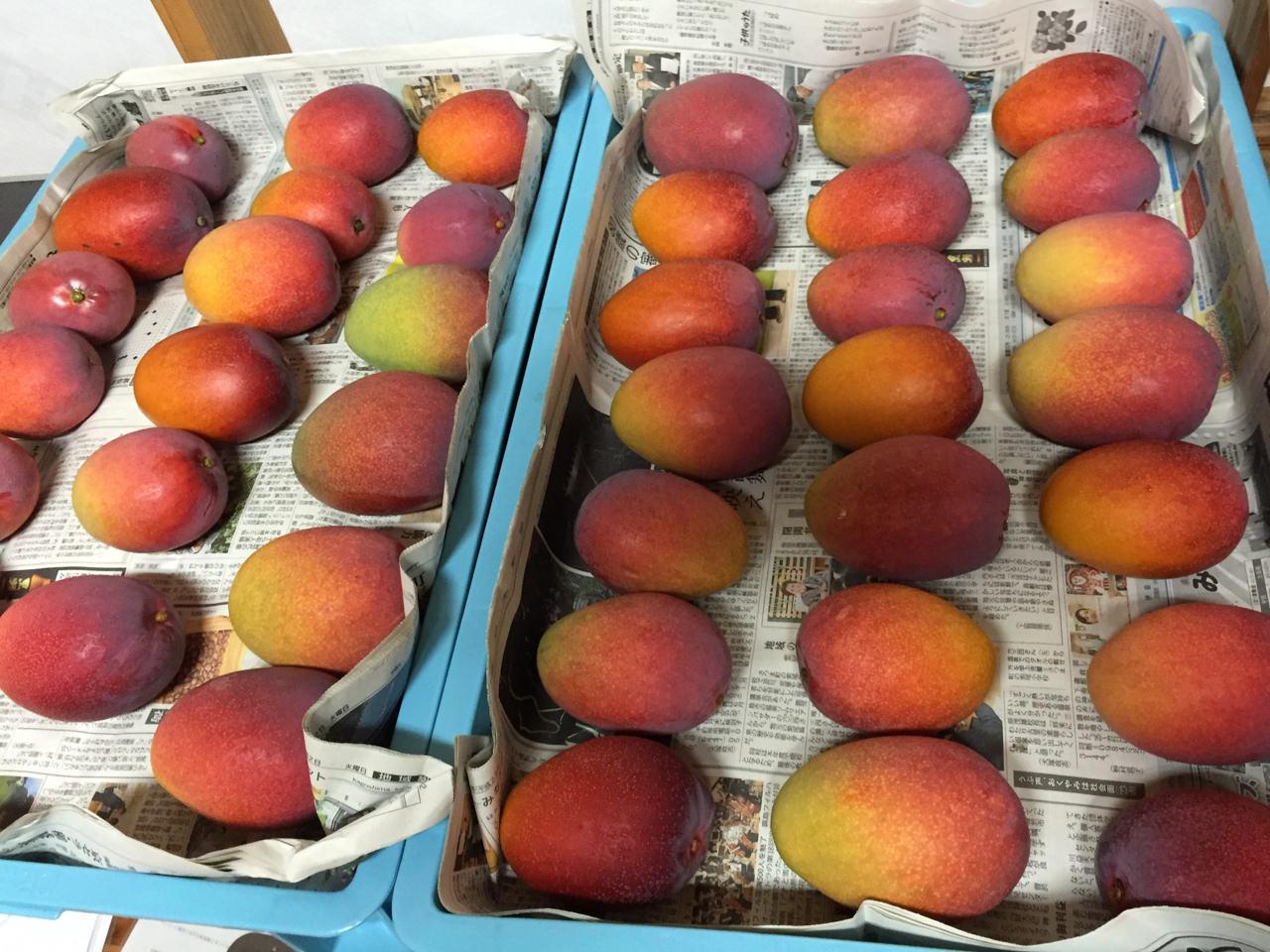 マンゴーの収穫写真-1