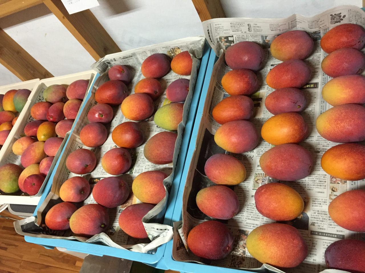 マンゴーの収穫写真-2