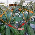 【マンゴー栽培】大型マンゴーの品種『レッドキンコウ』の剪定の仕方
