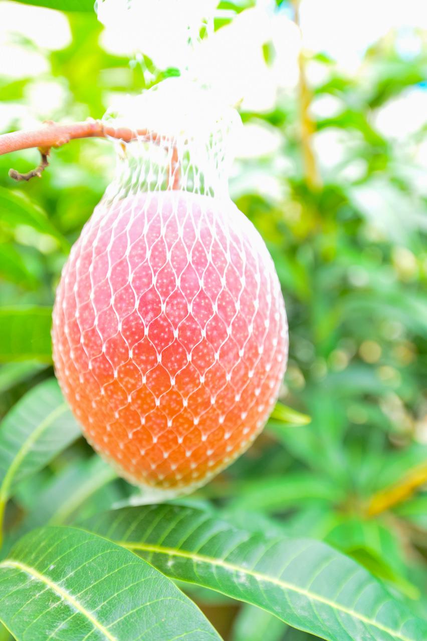 収穫ネット内でのマンゴーの様子