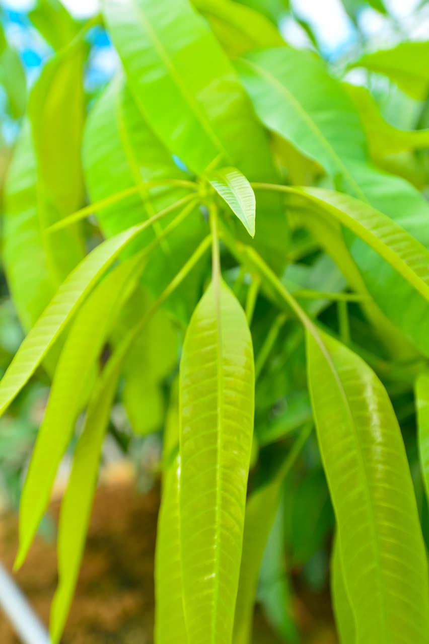 マンゴーの新葉