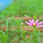 コスモスが開花まで要する日数
