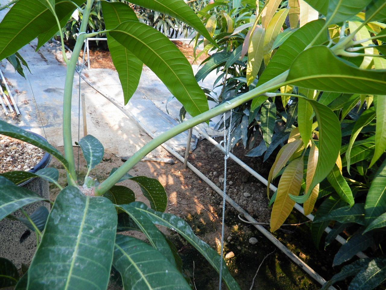 マンゴー苗木の誘引写真-1