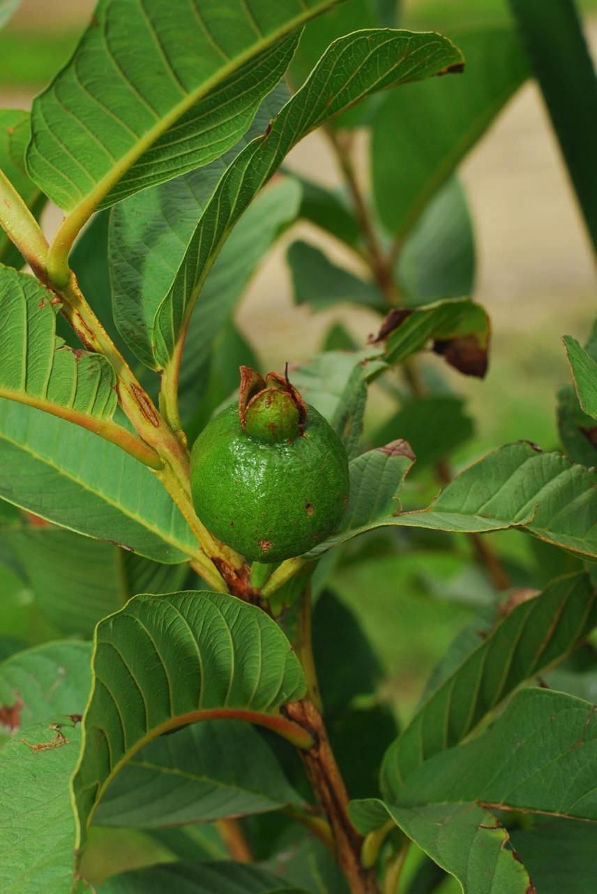 マキンググアバの果実肥大の様子-1