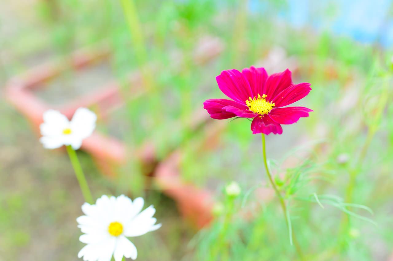 コスモスの花-1