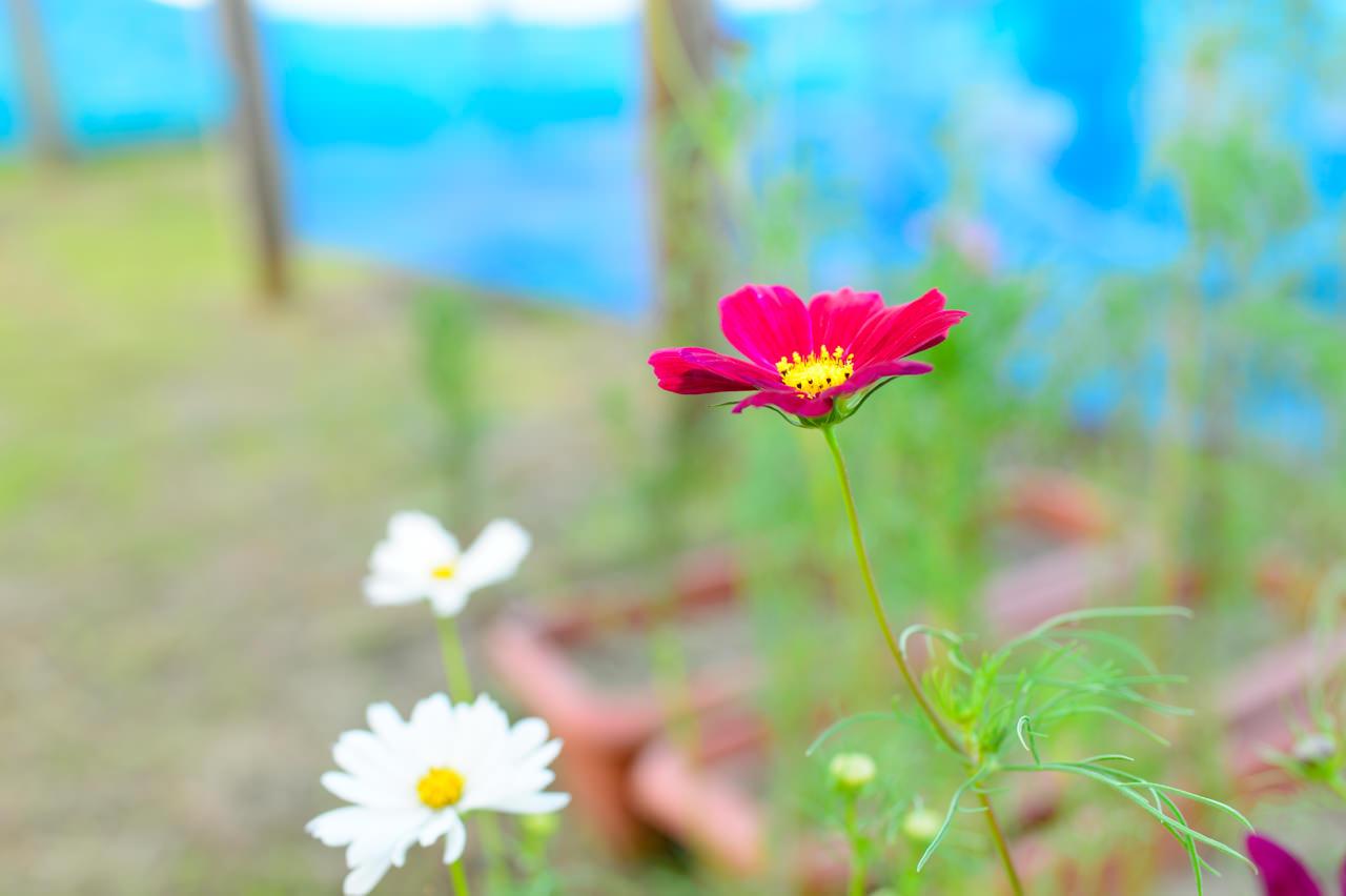 コスモスの花-3