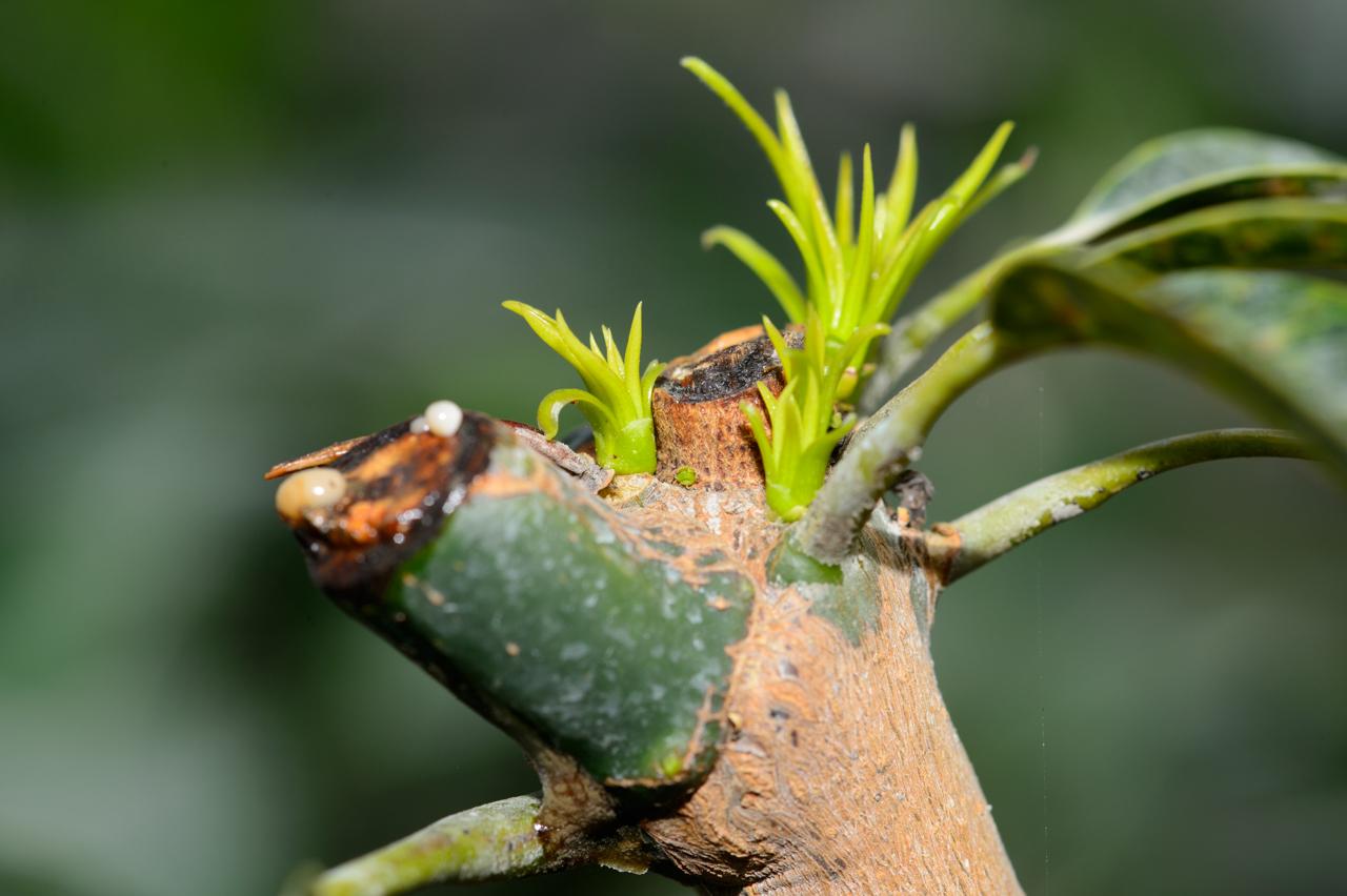 マンゴー新芽の様子-1