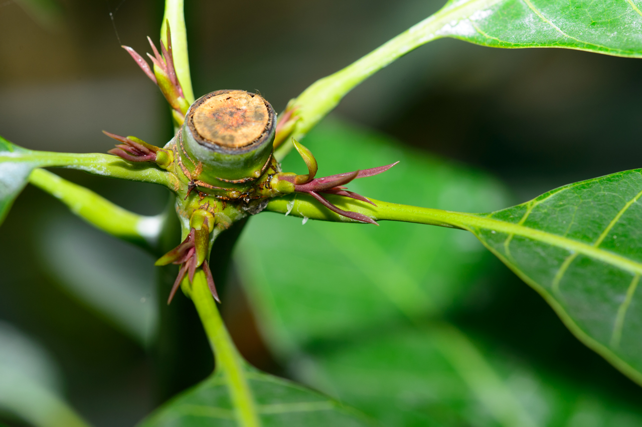 マンゴー原種の新芽-1