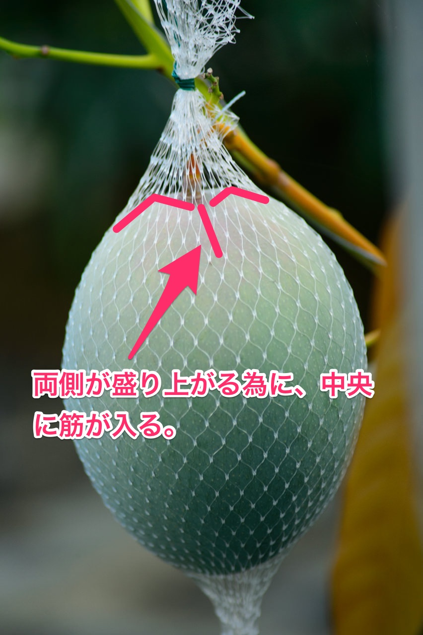 【追記】キーツマンゴーの収穫時期 | 花徳マンゴー