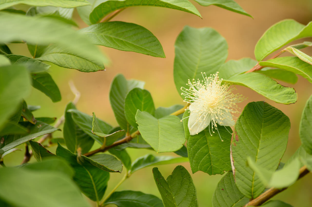 島グアバの花