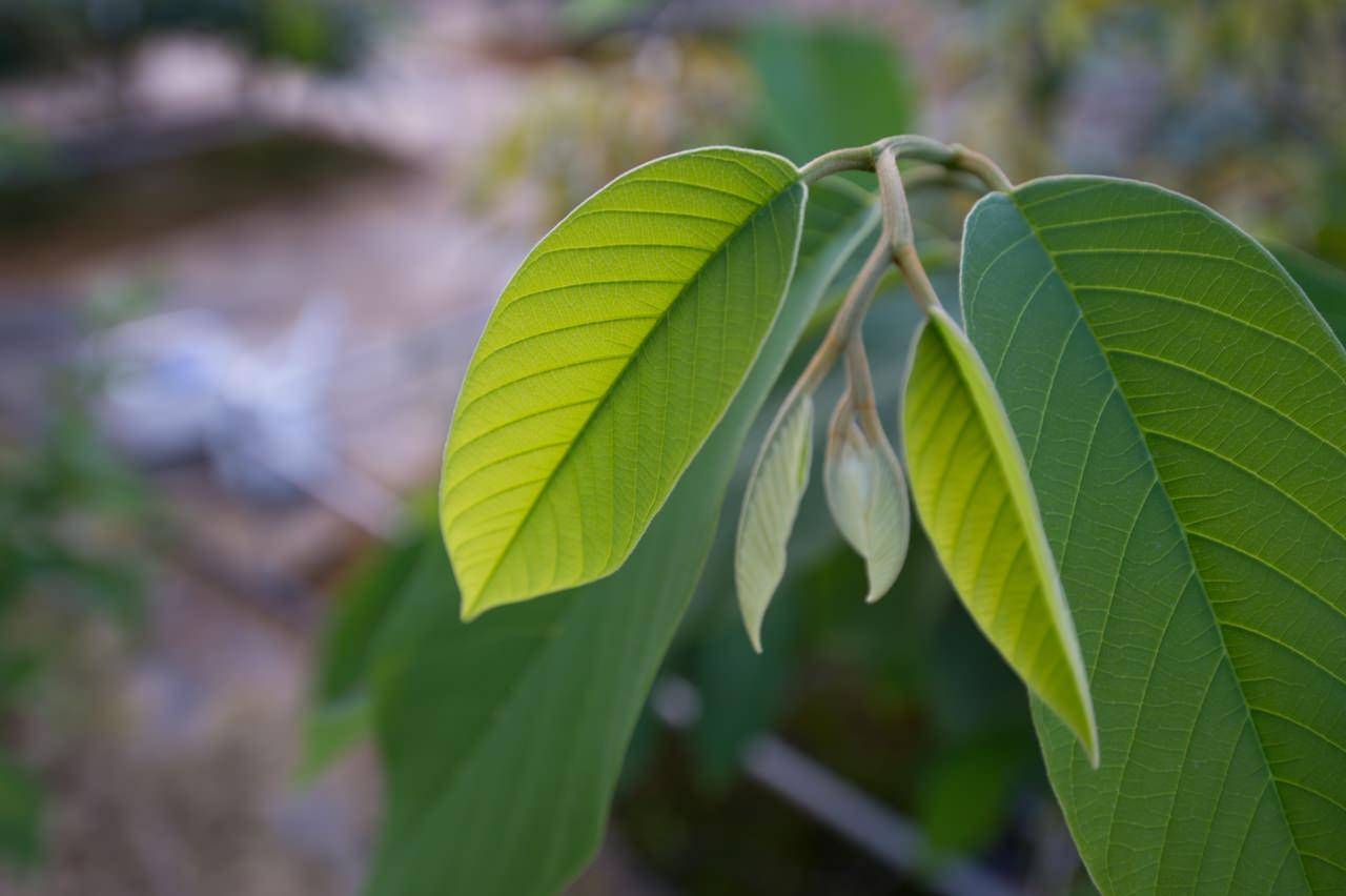 チェリモヤの葉