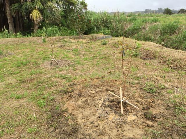 グアバの定植直後-1