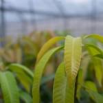 【マンゴー栽培】8月上旬収穫完了型の10月のマンゴーの管理作業について
