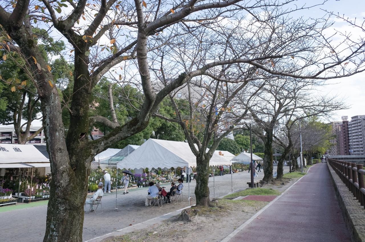 甲突川沿いの桜並木