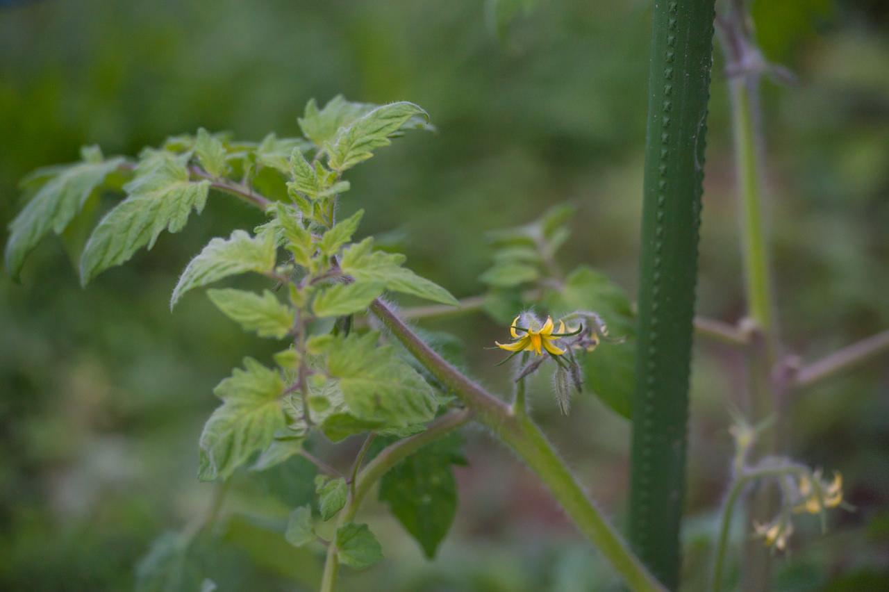 冬場のトマトの花