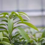 【マンゴー栽培】育て方の秘訣!マンゴーの栽培暦(12月編)