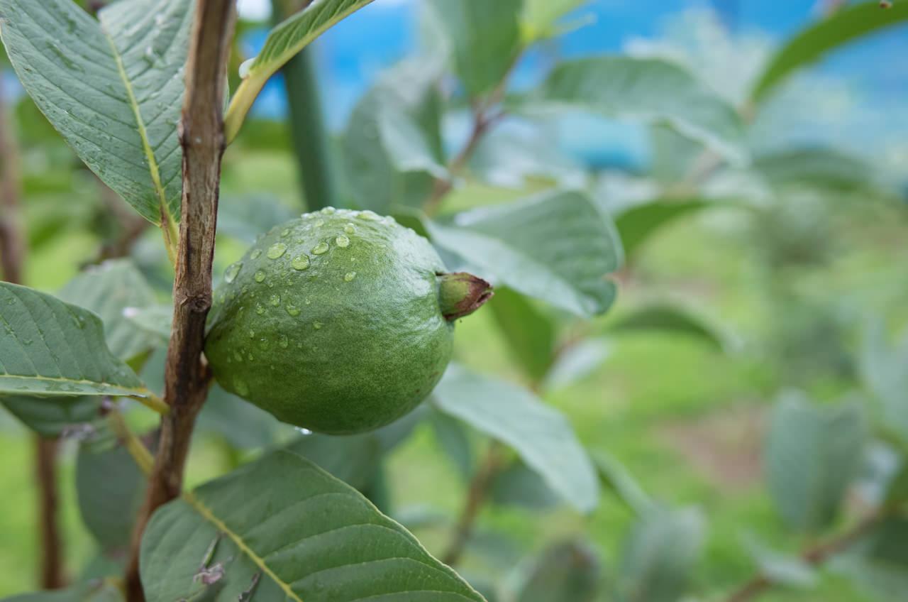 徳之島で栽培するキンググアバ-3