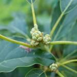 【熱帯植物】マンゴーとアボカドが花を咲かせる為に栄養を蓄えています!